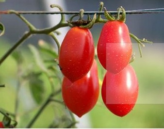 Cherries Tomato Seeds